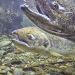 Chinook salmon bonneville dam
