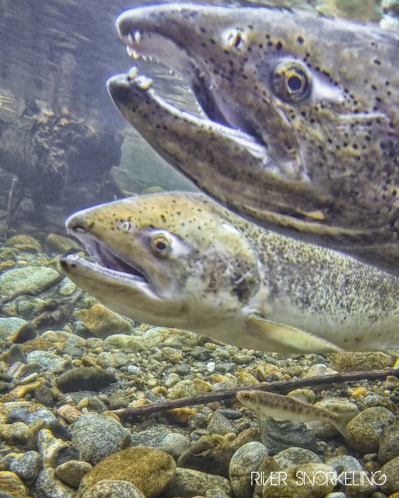 Chinook steelhead returns to bonneville dam 4 9 17 for Bonneville dam fish count